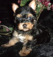 AKC male and female babys for sale