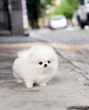 Sweet Pomeran.ian Puppies