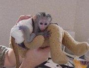 cute capuchin babies